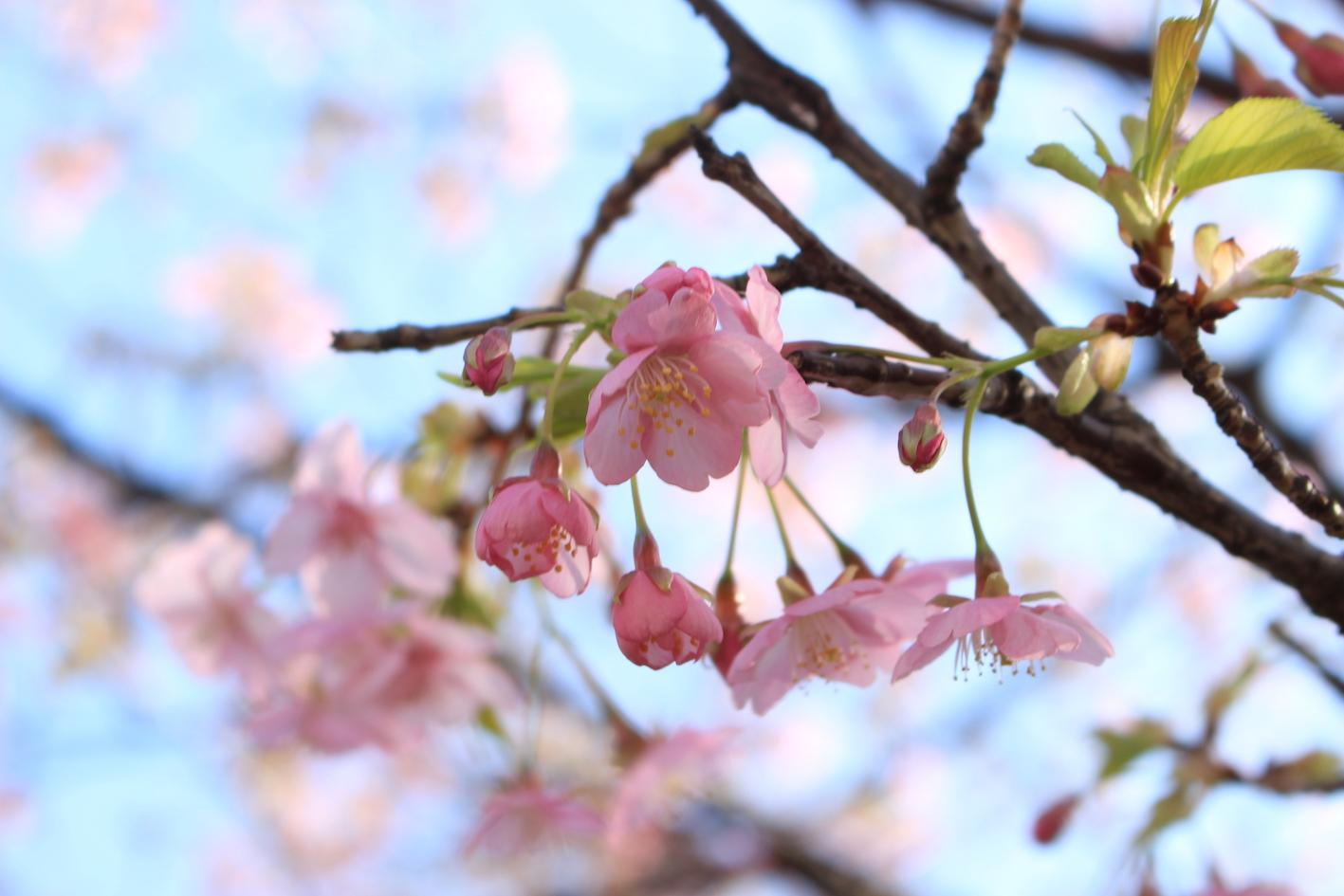 背景がボヤけた梅の花