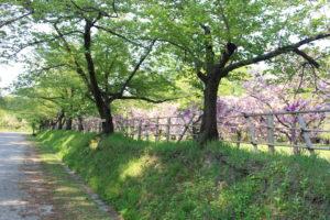ソメイヨシノの間から見える桜の画像