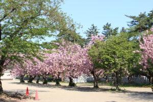 桜の画像2