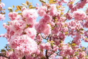 八重桜の接写画像