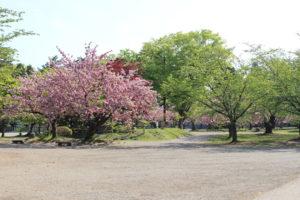葉桜と満開の桜の画像