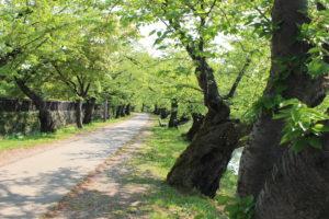桜トンネルの画像