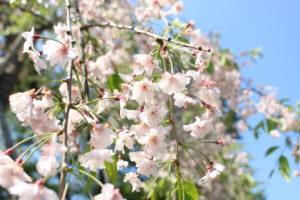しだれ桜の接写画像